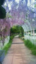 201005060843000.jpg藤の花トンネル