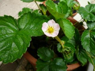 四季成り苺の花