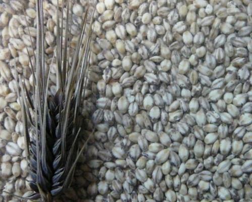 080604モチ麦粒.JPG
