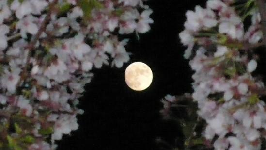 月と夜桜.jpg