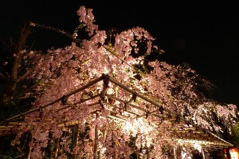 南蔵院枝垂れ桜.jpg