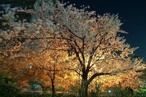 神田川の夜桜.jpg