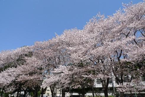 坂戸の公園の桜1.jpg