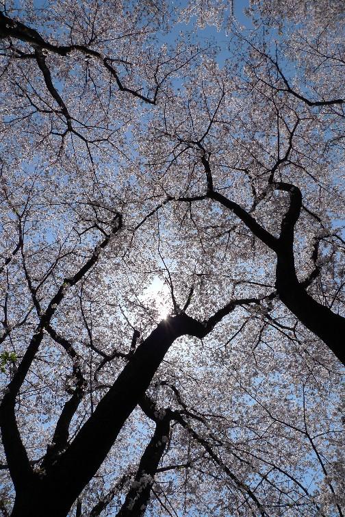 坂戸の公園の桜2.jpg