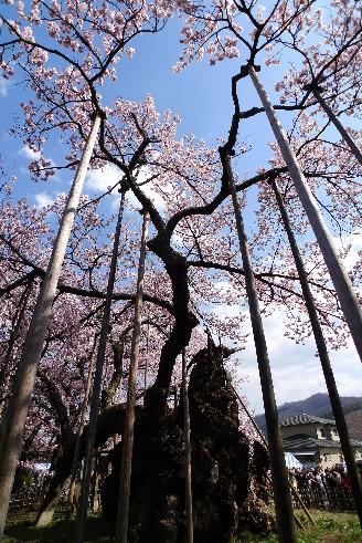 実相寺 高山神代桜2.jpg