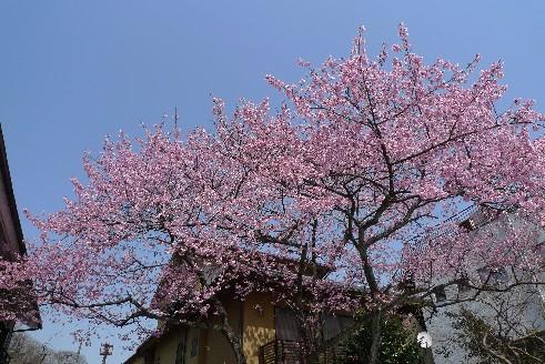 高尾山の桜.jpg