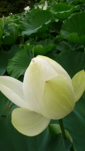 蓮の花3.jpg