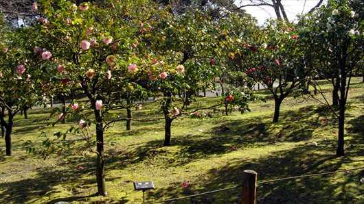 大島公園椿園
