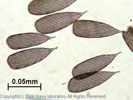 蚊の羽の羽毛