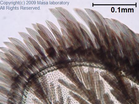 蚊の羽 4