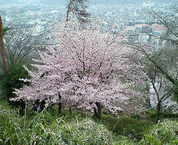 両崖山の桜