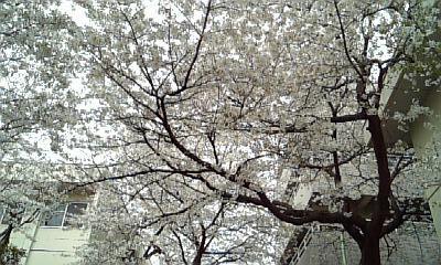 見上げた桜@駒場東大前