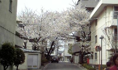 桜@駒場東大前