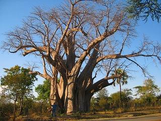 樹齢1000年以上.jpg