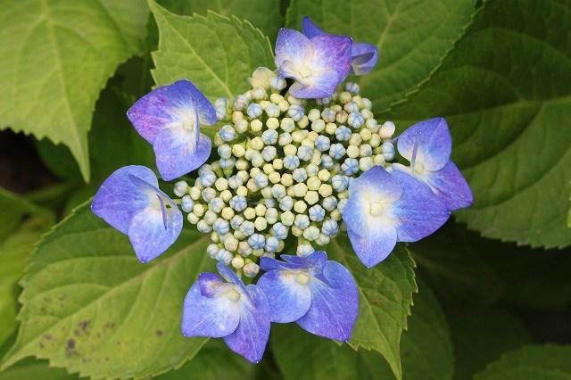 あじさい 紫陽花 アジサイ