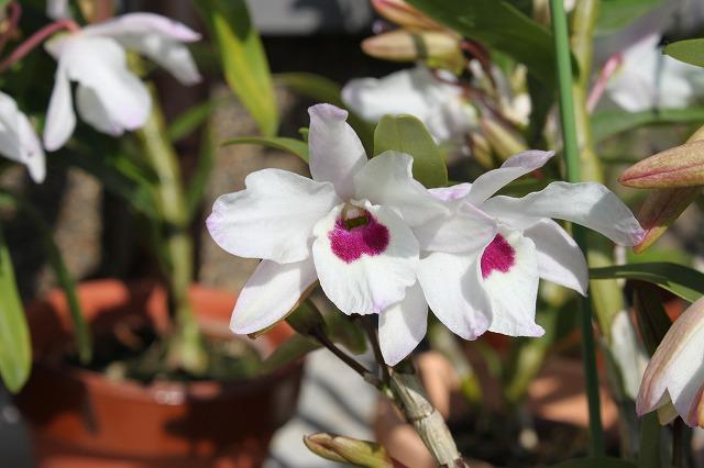 デンドロビューム(洋ラン)の花