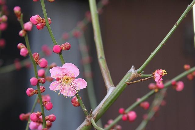 庭の梅の花・・・
