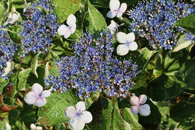 我が家の紫陽花(アジサイ)