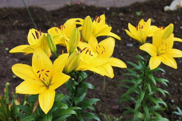 ユリ(百合の花)