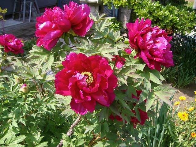 牡丹の花 01