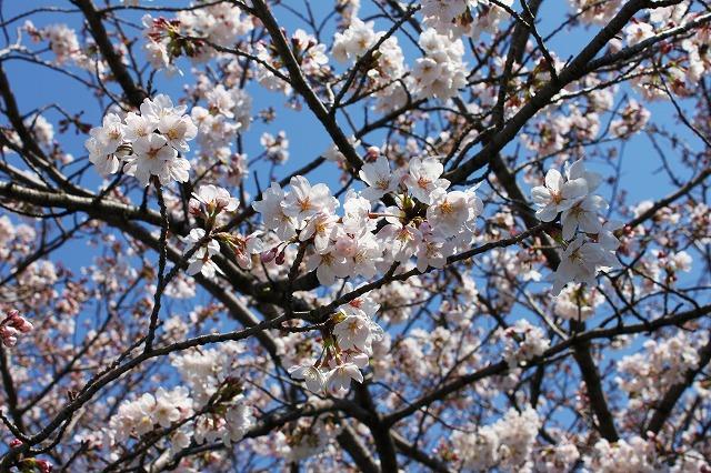ご近所の桜 満開近し・・・