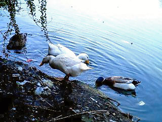 菰池/06.5.3-飛べない鴨類-修正