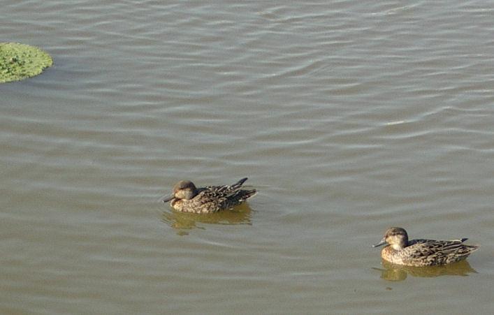 0610271437小鴨.白鷺公園