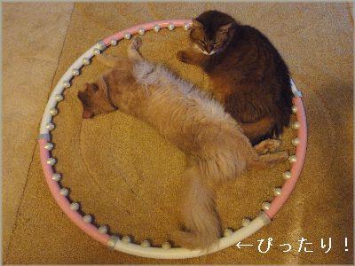 フラフープの中で寝るシヴァ君とちわ君