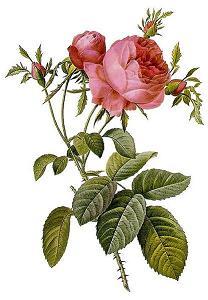 Rosa_centifolia_foliacea.jpg