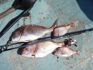 10月2日真鯛61センチ2枚.jpg