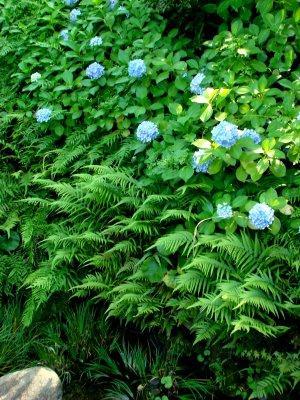 8 garden ajisai.jpg