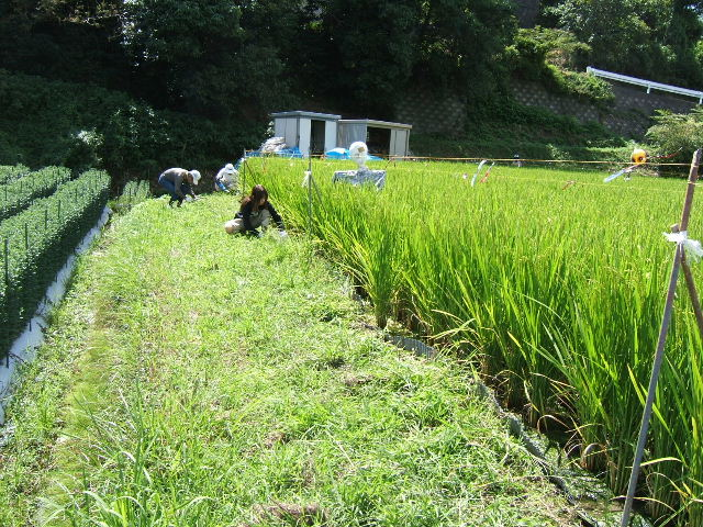 畦の草刈り
