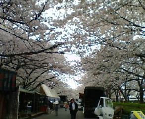 造幣局桜.jpg