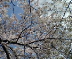 祇園白川南通りの桜空
