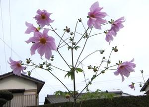 皇帝ダリア.JPG