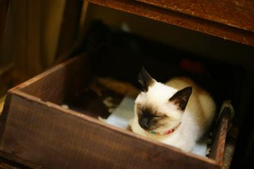 眠るシャムネコのアメヲさん