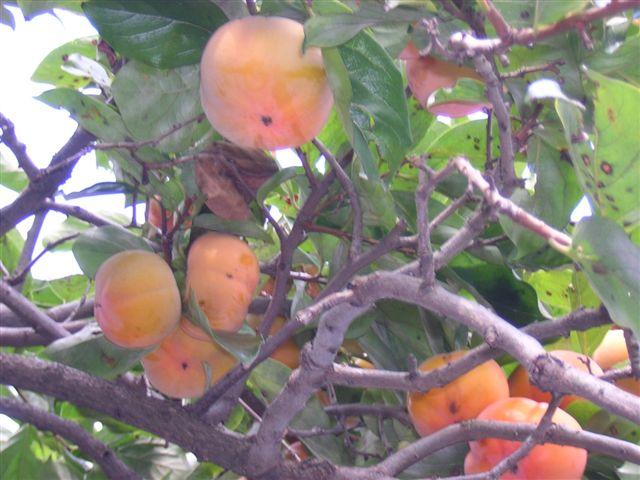 いくつかの柿