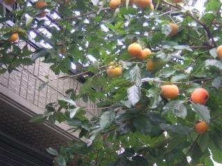 1 元気な柿