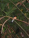 マノアの滝~鳥~