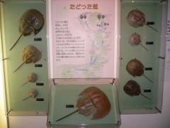 カブトガニ博物館にて
