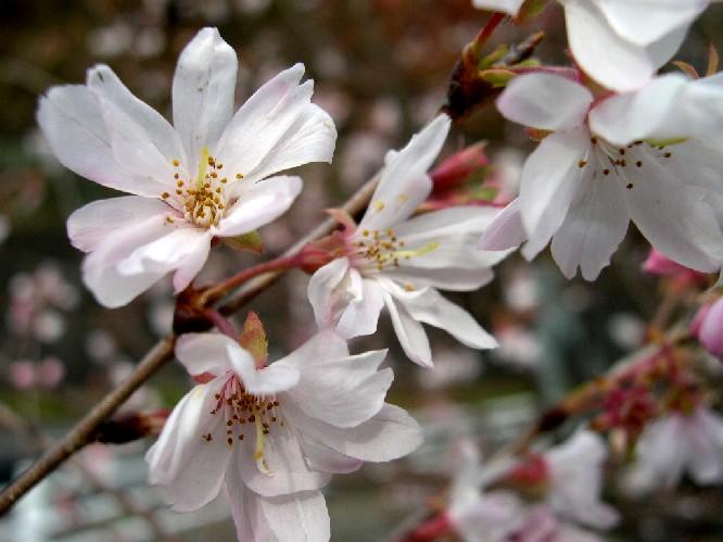 奥多摩湖に咲いていた桜(?).jpg