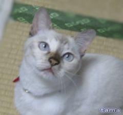 白猫銀子嬢