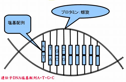 遺伝子DNA塩基配列 A・T・G・C