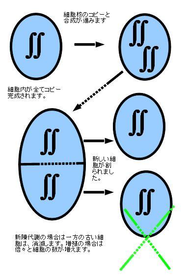 細胞分裂簡易図にて