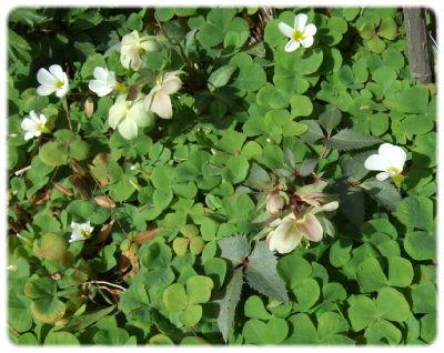 もう1つ、クリスマスローズが写真の左上に植えてあります。少し大きな株なのですが、種類名はわかりません。来年は咲くかな?