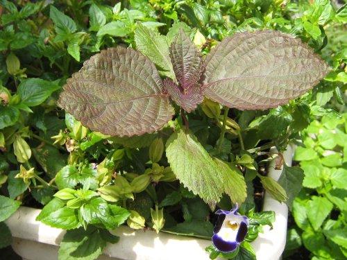 シソによく似た植物(7月)