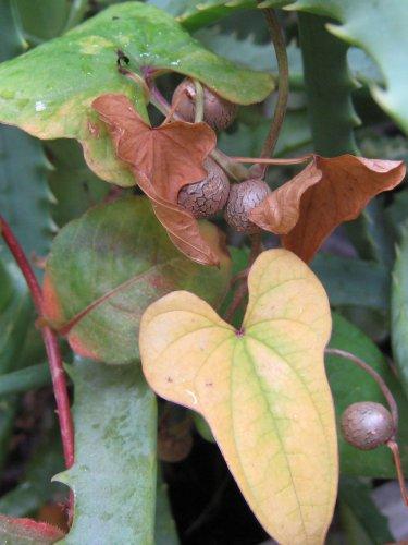 長芋のムカゴ
