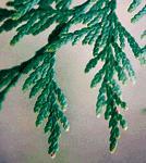 westernredcedar_leaf