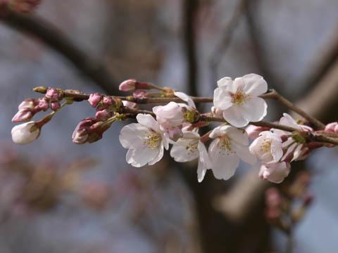 桜咲く2008.jpg
