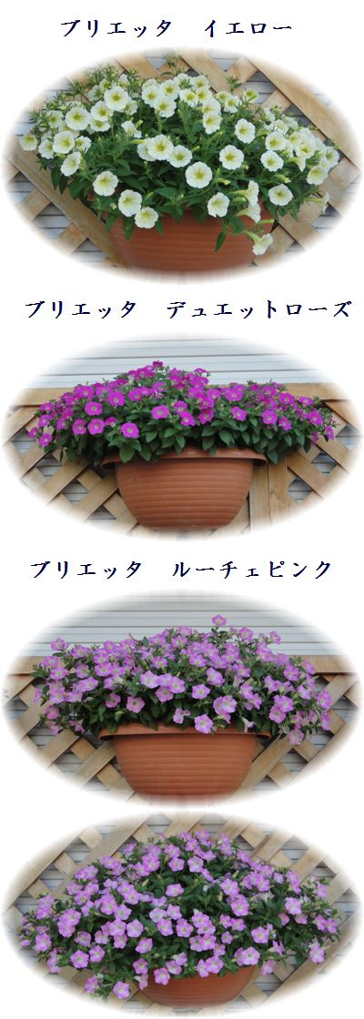 花が咲きだしたブリエッタ